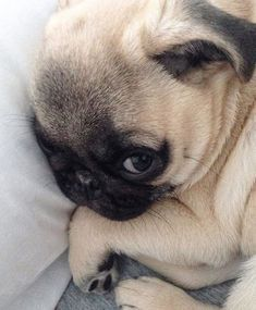 """I said, don't wake me until Friday. "" #pug"