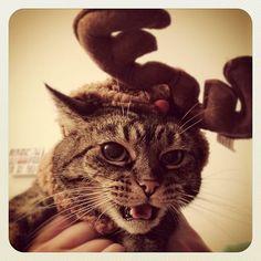 Christmas Cats (Photos)