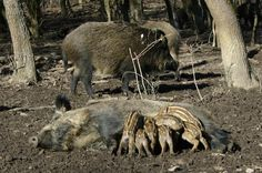 Climate change brings Europe more boars - Conservation