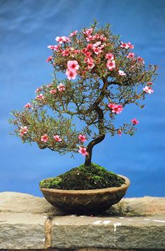 AZALEA BONSAI JAPANESE...got one for Mother's Day last year from my sweet daughter!