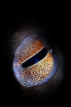 Octopus Eye by Keri Wilk (Canada) taken at Blue Heron Bridge, Florida Kraken Octopus, Octopus Eyes, Octopus Art, Underwater Photos, Underwater Photography, Macro Photography, Octopus Photography, Fotografia Macro, Cuttlefish