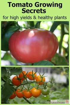 With these 12 tomato growing secrets, you'll see improved yields and healthier plants. From soil care and fertilization, to season-long maintenance tips for reduced pests and diseases, grow your best tomato crop ever. maintenance tips Tomato Plant Care, Cherry Tomato Plant, Tomato Plant Diseases, Backyard Vegetable Gardens, Veg Garden, Garden Tomatoes, Potager Garden, Tomato Garden, Growing Tomatoes