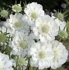 Garden Planning 20 Lovely Moon Garden That WIill Transfrom Your Yard Button Flowers, White Flowers, Beautiful Flowers, Beautiful Moon, White Perennial Flowers, Green Flowers, Simply Beautiful, White Gardens, Dream Garden