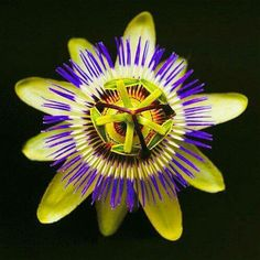 Flor de la pasión, en alusión a la pasión de Crito.Pertenece a la familia Passifloraceae