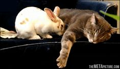 funny-gif-rabbit-cat-sleeping-tired