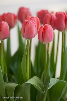 Lots of these in bloom at the Jersey Shore! One Million Tulips Pink Tulips, Tulips Flowers, My Flower, Daffodils, Fresh Flowers, Spring Flowers, Flower Power, Beautiful Flowers, Ikebana