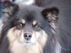 Conheça a raça Cão Finlandês da Lapônia