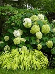 Annabelle hydrangea Hakone Japanese Forest Grass in a Toronto shade garden by garden muses-a Toronto gardening Perennial Grasses, Ornamental Grasses, Sun Perennials, Tall Grasses, Perennial Plant, Hydrangea Landscaping, Backyard Landscaping, Landscaping Ideas, Landscaping Software