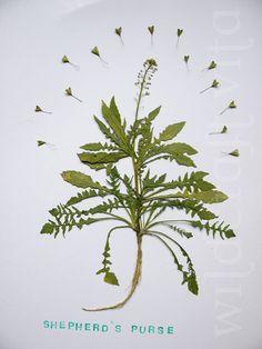 WILDCRAFT VITA: Shepherd's Purse Sauce (Capsella bursa-pastoris)