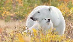 Churchill Wild fly-in eco-lodges that offer exclusive access to polar bears Sumatran Rhino, Elephant Camp, Sea Cow, Giant Tortoise, Adventure World, Mountain Gorilla, Wild Creatures, Close Encounters, Wild Dogs