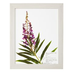 This print is made from an image of a painstakingly preserved specimen of Fireweed.