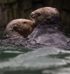 Walter, a rehabilitated sea otter, who was blinded after a shotgun blast to the face near Tofino, plays with female Tanu after being introduced to her for the first time at the Vancouver Aquarium on Thursday, Nov. 6, 2014. (Darryl Dyck / THE CANADIAN PRESS)