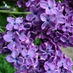 Someone please tell me how to grow Lilacs in Georgia!