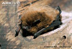 Nathusius's pipistrelle (Pipistrellus nathusii)