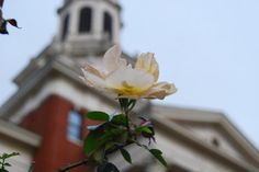 Green & gold flower (naturally!) at Baylor's Pat Neff Hall.