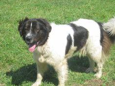 Atticus owned by Five Springs Farm - Karakachan Guardian Dog