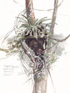 Panama/Barro Colorado Island Sketchbook 2013 | Drawing The Motmot