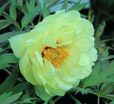 High Noon Yellow Hybrid Tree Peony - Paeonia suffruticosa - Kelways