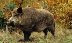 Wildboar : Wildboar In Forest Fighting For Clan Of Females . Top Wildboar Wins Fight.  He Procreates With All Females Boars.  New Off - Springs Are Born. He Wins Leadership Amongst The Group.  Beginning A New Journey Of Hope For Clan - Of Wildboars In Forest.  Peter Goettler / June 3 / 16 ( Short Version ) ... (1) One Of My New Writings ...