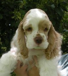 Quality cocker spaniels bred by Evangeline Cockers