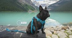 French Bulldog on an adventure in Lake Louise, Alberta, Canada modeling our newest dog Harness!