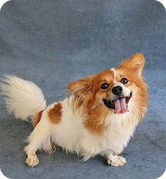 Greensboro, NC - Pomeranian Mix. Meet Benji, a dog for adoption. http://www.adoptapet.com/pet/13611400-greensboro-north-carolina-pomeranian-mix
