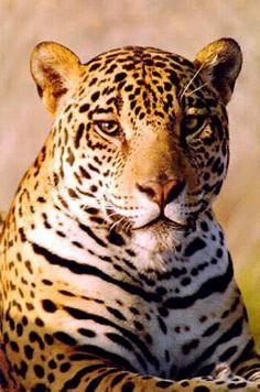 Jaguar on The Jaguar  Beautiful  Big  Wild Cat Photograph From Hdw Enterprises