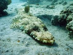 The Crocodilefish or Cymbacephalus beauforti is a very odd saltwater fish that gets it name from its crocodile like appearance as you can see in the pictures.  Also known as the Crocodile Flathead, and the De Beaufort's Flathead, these fish are members of the Scorpaeniformes order which makes them close relatives to Stonefish and Scorpionfish.