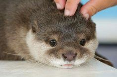 Otter: A little to the left, please. Otters Cute, Baby Otters, Cute Baby Animals, Animals And Pets, Funny Animals, Beautiful Creatures, Animals Beautiful, Otter Love, Dou Dou