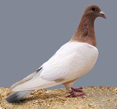 List of Pigeon Breeds | Coburg Lark Pigeon. ENCYCLOPEDIA OF PIGEON BREEDS