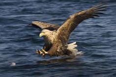 White-Tailed Sea Eagle by Kjartan Trana - Pixdaus