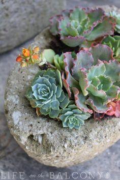 Roger's Gardens - Succulents in Hypertufa by Fern @ Life on the Balcony