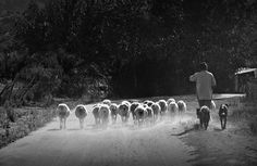 "Photo ""P1350147copy2Shepard/Sheep"" by kevinfairley"