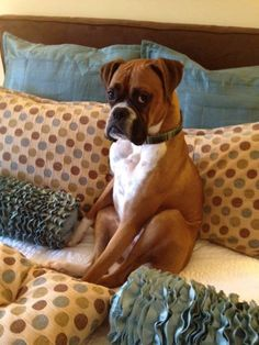 That's a good looking Boxer !