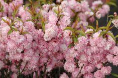 Cerisier à fleur rose double - Prunus Glandulosa Rosea Plena Prunus, Narcisse, Rose Pastel, Willamette Valley, Pink, Pom Poms, Pink Blossom, Flowers, Bulbs