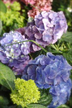 Hydrangea in the garden