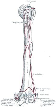 Gray207 - Brachialis muscle - Wikipedia, the free encyclopedia
