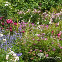 Mottisfont Abbey Gardens - trvalkový záhon s růžemi.