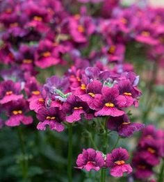 Nemesia - Plant Encyclopedia - BHG.com Nemesia Flowers, My Flower, Flower Pots, Purple Flowers, Wild Flowers, California Native Plants, Kangaroo Paw, Heuchera, Blooming Flowers