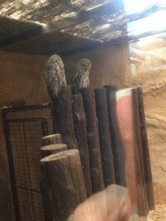 Rancho Texas Owls
