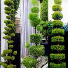 Outdoor Topiary, Topiary Trees, Topiaries, Cloud Pruning, Paver Stones, Bonsai Garden, Green Garden, Garden Crafts, Front Yard Landscaping