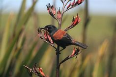 Saddleback....marches the color of the flower...a color coordinated birdie!!!