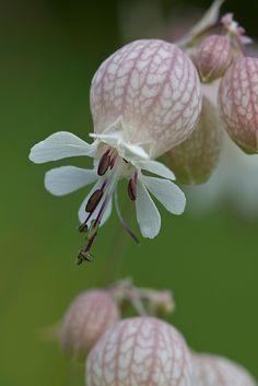 Silene vulgaris | ©Anne Sorbes Bladder campion, Silene vulgaris (Caryophyllales - Caryophyllaceae) - Limousin, France. #YesYouAre #Limousin