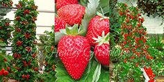 SEEDS – Vertical Hokowase Strawberry (Fragaria Hokowase) ... https://www.amazon.ca/dp/B01N2MQMHJ/ref=cm_sw_r_pi_dp_x_FWDtzb9QA8AVJ