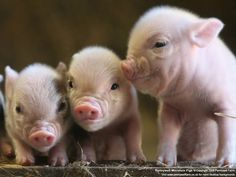 Pigs are as smart as dogs and are not for eating. #vegan