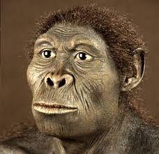 HOMO HABILIS. Llegan hace 2.3 millones de años. Caminaban a dos piernas. Su cerebro era más grande que el anterior. Era el primer hombre, el más grande, el más fuerte. Eran carroñeros. Fabricaron la primera herramienta.