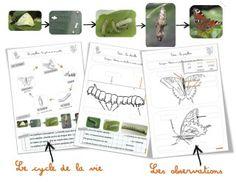 Sciences/Elevage : les papillons | Bout de Gomme
