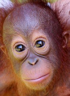 Animals And Pets, Baby Animals, Funny Animals, Cute Animals, Baby Orangutan, Chimpanzee, Bornean Orangutan, Monkey See Monkey Do, Ape Monkey