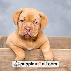 Dogue de Bordeaux puppies for sale Pet Insurance Reviews, Best Pet Insurance, Cute Puppies, Dogs And Puppies, Corgi Puppies, Mastiff, Cute Dog Photos, Puppy Pictures, Love Dogs