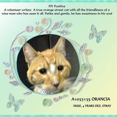 TO BE DESTROYED 4/24/15 *NYC* Manhattan Center * A volunteer writes: A true orange street cat with all the friendliness of a wise man who has seen it all. Petite and gentle, he has sweetness in his soul. Take him inside for a safe clean comfortable life he never had. Such a great companion he will make as he will never forget your kindness. * My name is ORANCIA. ID # A1033135. I am a male org tabby and white dom sh mix. I am about 4. I came in as a STRAY on 04/14/2015 from NY 10467